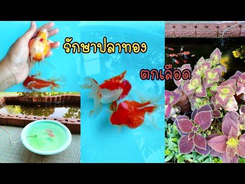 รักษาปลาทองตกเลือด โดยใช้เกลือสมุทร กับยาเหลือง