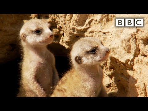 Baby Meerkats - Natural World - Meerkats: Secrets of an Animal Superstar Preview - BBC Two