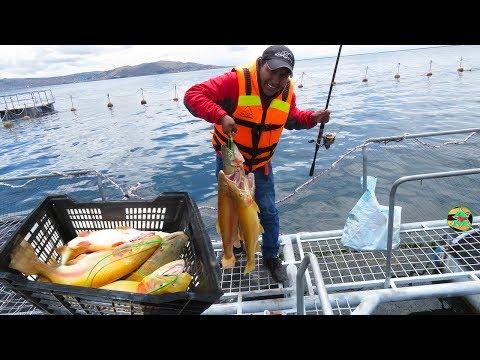 MIRA COMO PESCA AND MOLL A LAS TRUCHAS GRANDES EN LAGUNA - fishing for golden trout in the lagoon