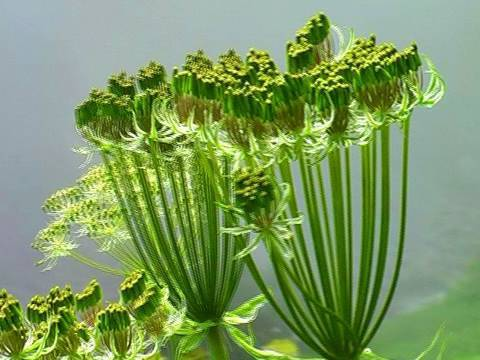 Hogweed flowers in Valley of Flowers, Uttarakhand