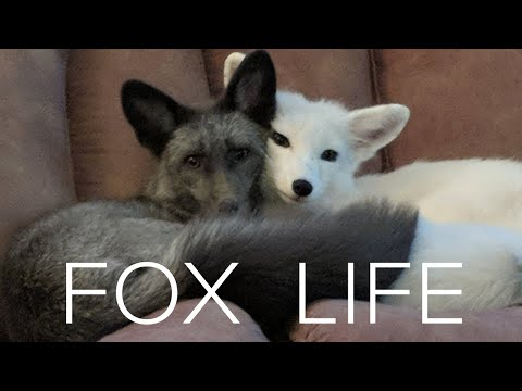 Before Getting a Pet Fox . . . WATCH THIS!