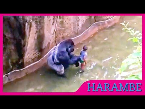 gorilla killed - moment of killed  gorilla  who  grabs child  at the cincinnati zoo [Getadus]