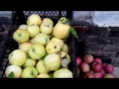 Определение съемной зрелости яблок.