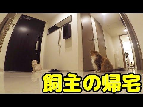猫は飼主が帰宅したら迎えに来てくれるのか?