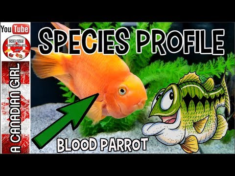 BLOOD RED PARROT FISH - SPECIES PROFILE AND CARE GUIDE