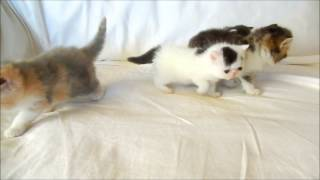 Exotic Shorthair Kittens Litter of Four at 4 weeks