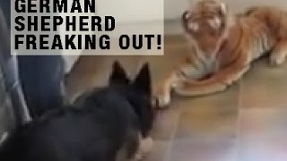 German Shepherd Barking At Lion, Shows Off Protective Instincts Of The German Shepherd