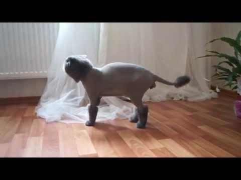 Видео прикол: британский кот решил умыться