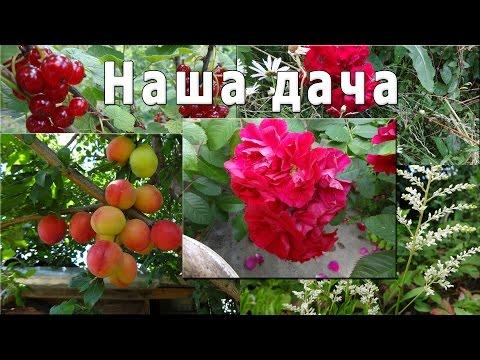 Алыча цветет - art-