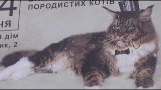 Самые большие коты! Соревнования Котов Гигантов! Выставка кошек Битва гигантов. Шоу больших кошек