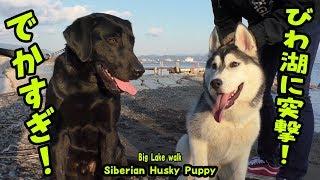 琵琶湖沿いをシベリアンハスキーのはっちゃんとラブラドールのしまちゃ...
