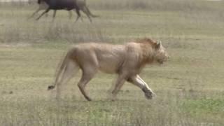 les hyènes puis les lions vs zèbres