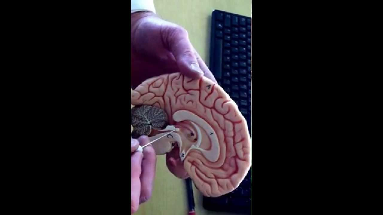 Sagittal Section of Brain Model - YouTube