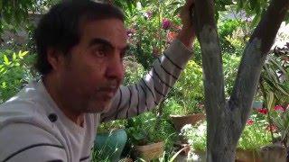 كيفية حماية الأشجارمن الحشرات الخطيرة مع المعلم حسن