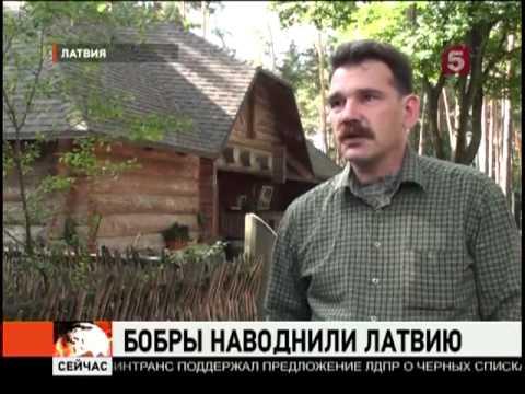 В Латвии -- нашествие бобров