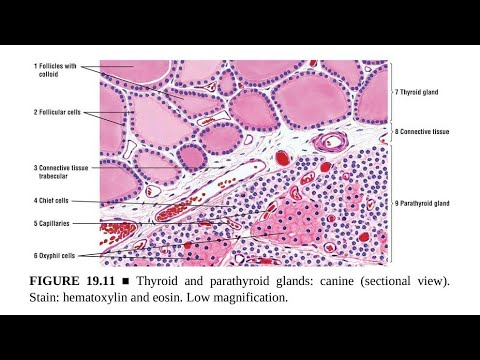 Parathyroid Glands Anatomy And Histology Youtube