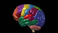Brain Anatomy and Functions | Nucleus Health