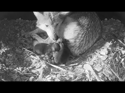 Noisy Newborn Mexican Gray Wolf Pups