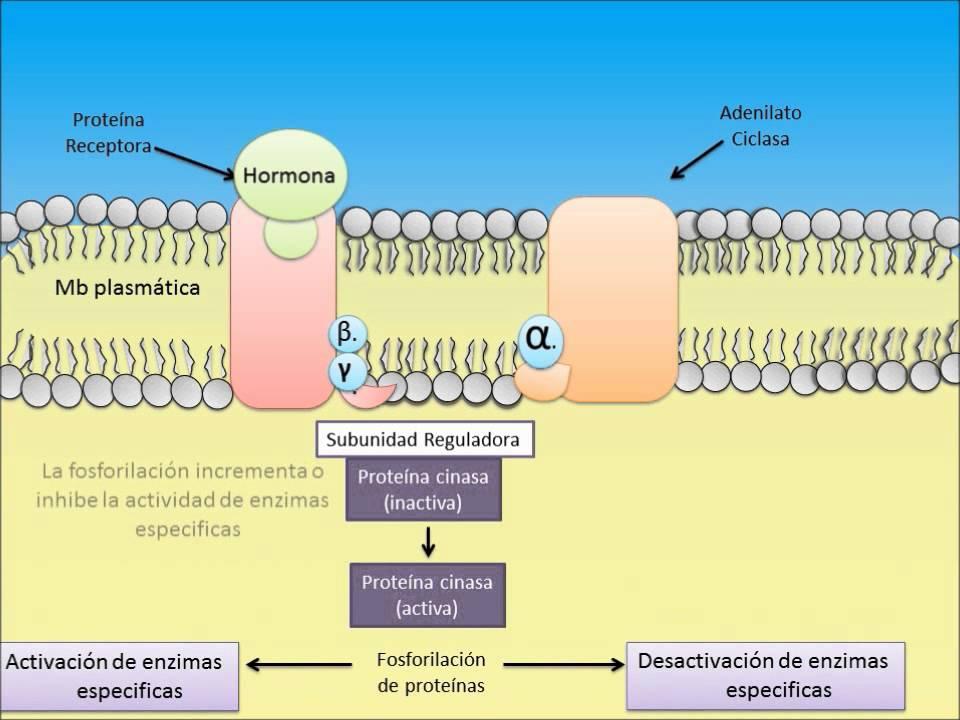 las hormonas esteroideas son secretadas por