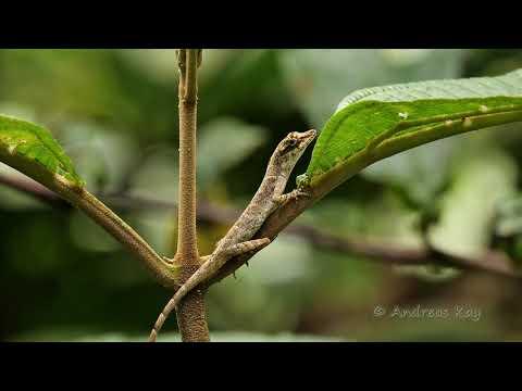 Lazy Lizard From Ecuador