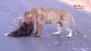 Kirpiye Sataşan Leoparın hazin sonu