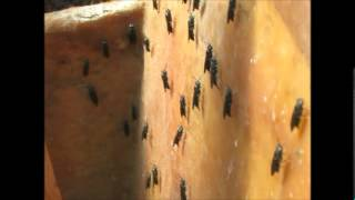 Black soldier flies laying eggs and a new mass hatch of larvae