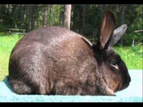 american sable rabbit images. Black Bedroom Furniture Sets. Home Design Ideas