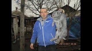 Кролик Советская Шиншилла чистый вес  в 1 год!