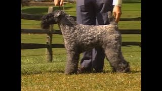 Kerry Blue Terrier - AKC Dog breed series.