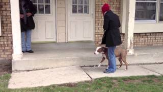 Demonstrating How an Adult Pitbull Can Learn to Heel and Not Pull on the Leash
