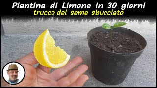 Download lagu PIANTA DI LIMONE IN 30 GIORNI, trucco infallibile (LEMON PLANT 30 DAYS, PLANTA DE LIMÓN EN 30 DÍAS)