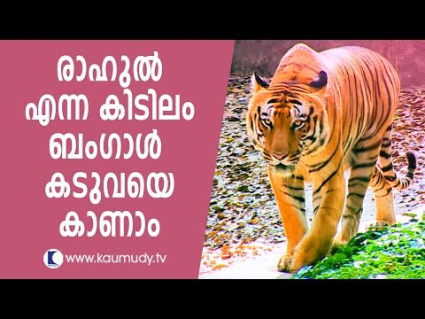See the majestic Bengal tiger | Kaumudy TV