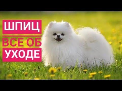 УХОД ЗА ШПИЦЕМ/Что нужно собаке ?/Всё об уходе