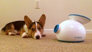 Corgi's Christmas Present - Life After College: Ep. 385
