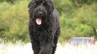 Dimi - Russian Black Terrier - 2 Week Residential Dog Training