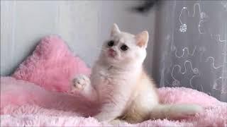 Эффектный мальчик в окрасе шиншилла камео! Британские котята питомника.