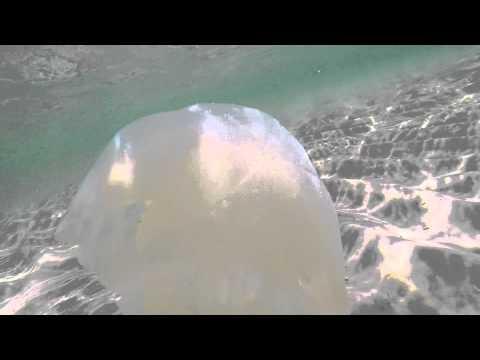 Cannonball Jellyfish In Destin Florida