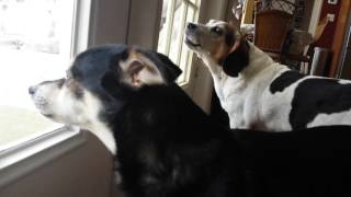 Wilson the Beagle and his friend Kota sing the beagle song of the m...