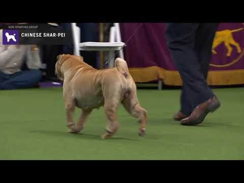 Chinese SharPei | Breed Judging 2020