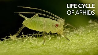 Life cycle of aphids