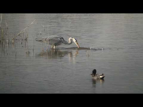 Heron Fishing At Radipole Lake