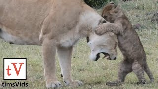 Nine Small Lion Cubs Annoying Their Parents