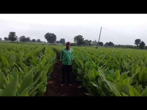 Turmeric (हल्दी): Turmeric Farming in India