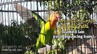 Download lagu Panggilan Lovebird di pagi hari LOVEBIRD lain pasti terpancing bunyi MP3