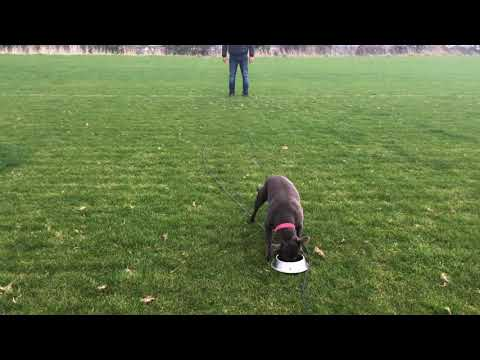 Dublin - recall training. 1-year-old Staffordshire Bull Terrier. Self-control