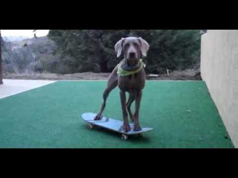 Teaching a dog to skateboard