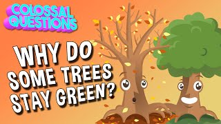 Why Do Some Trees Stay Green? | COLOSSAL QUESTIONS