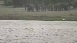 crocodile attacks antelope chased into river by wild dogs