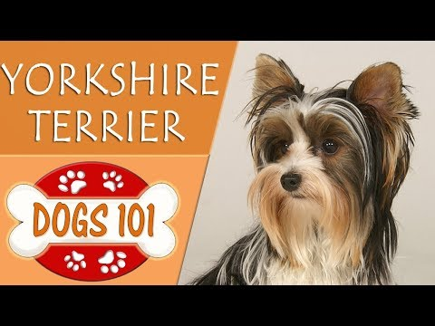 Dogs 101 - YORKSHIRE TERRIER - Top Dog Facts About the YORKSHIRE TERRIER