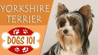 Dogs 101  YORKSHIRE TERRIER  Top Dog Facts About the YORKSHIRE TERRIER